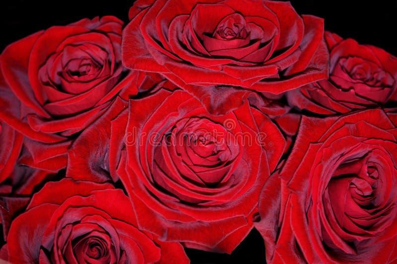 Rosas rojas brillantes foto de archivo