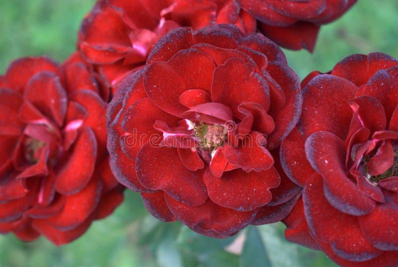 Rosas rojas con la falta de definición - rosas rojas solemnes - fondo de la flor foto de archivo