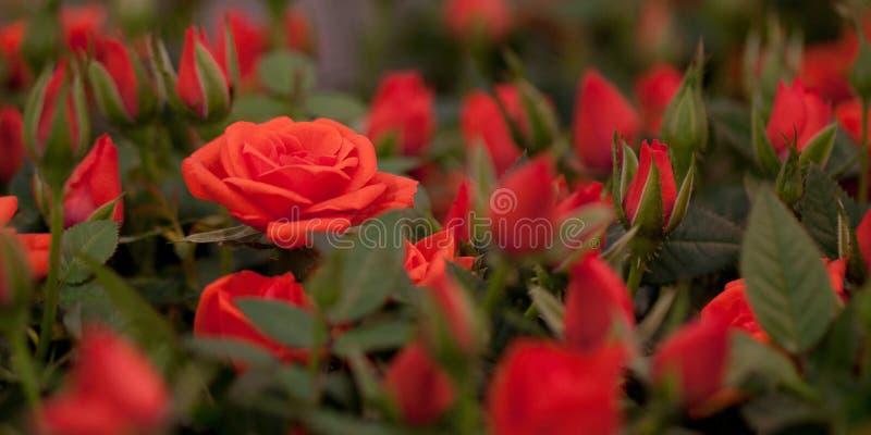 Rosas rojas con los brotes imágenes de archivo libres de regalías