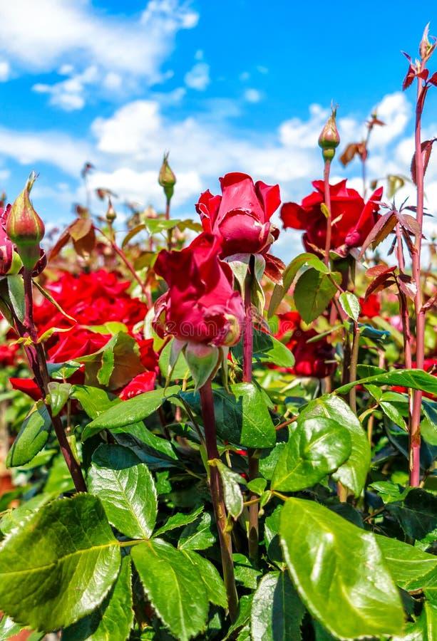 Rosas rojas de Floribunda con los brotes en una rosaleda foto de archivo