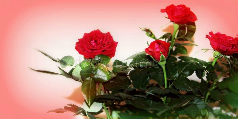 Rosas rojas del amor, mini imágenes de archivo libres de regalías