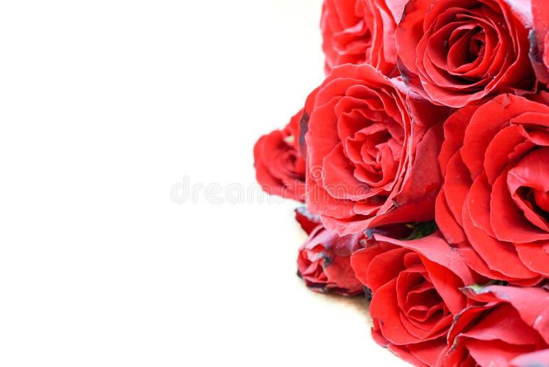 Rosas rojas en el fondo blanco imagen de archivo