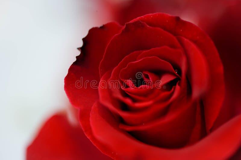 Rosas rojas en el fondo de madera, vintage retro, fotos de archivo