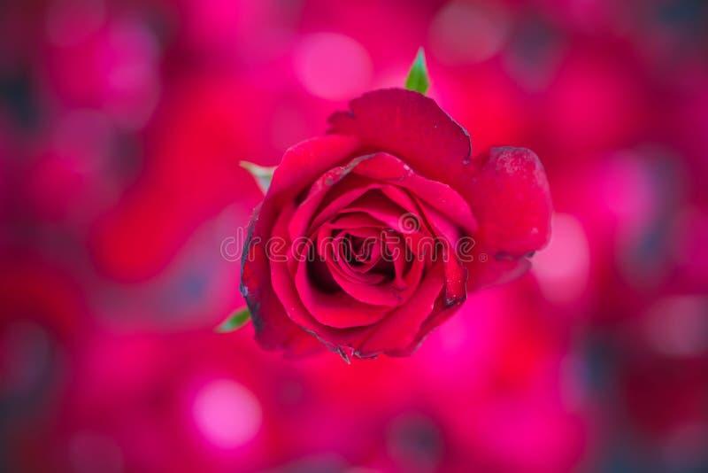 Rosas rojas en el fondo rojo del bokeh, vintage retro, imágenes de archivo libres de regalías