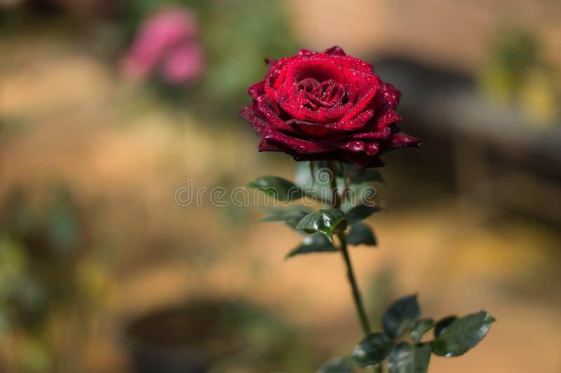 Rosas rojas en el jardín imagenes de archivo
