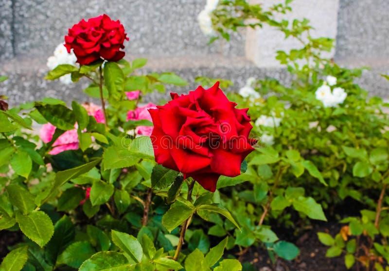 Rosas rojas en el macizo de flores foto de archivo