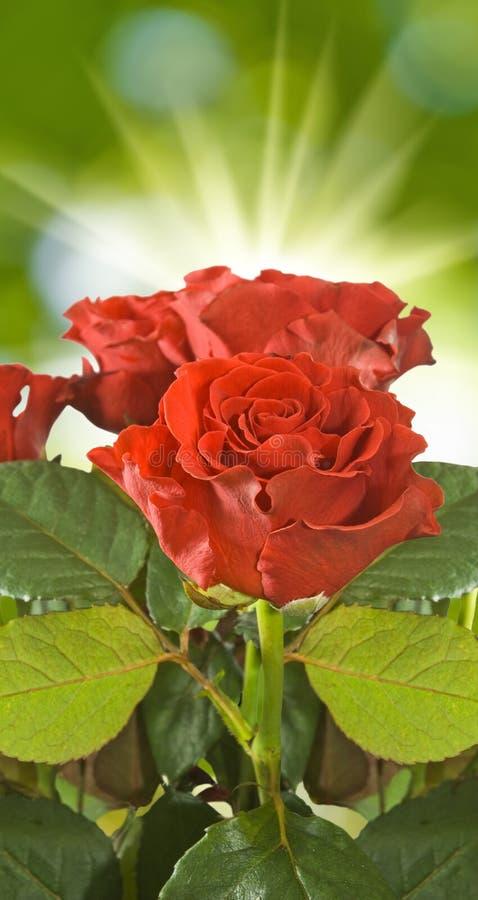 Rosas rojas en fondo borroso fotos de archivo