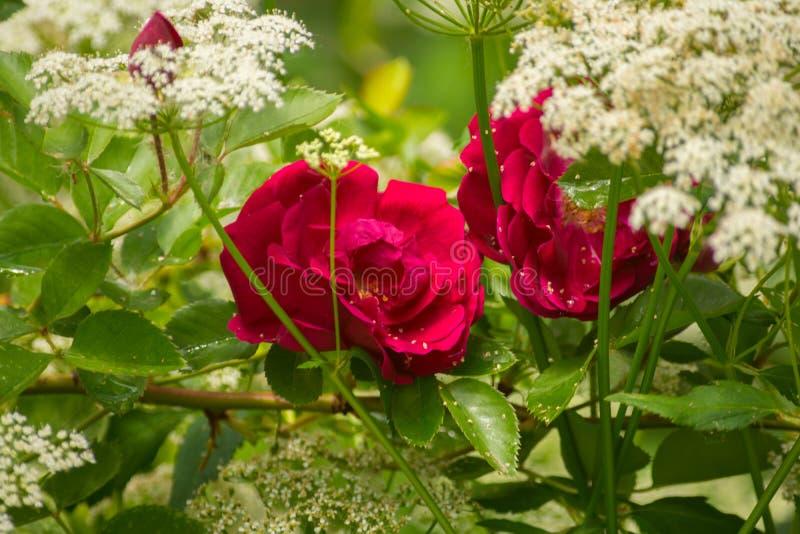 Rosas rojas en las flores blancas de la mala hierba de los obispos en jardín imagen de archivo libre de regalías
