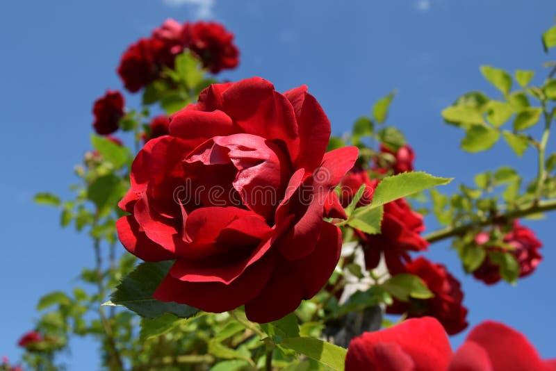 Rosas rojas en un cielo azul fotografía de archivo