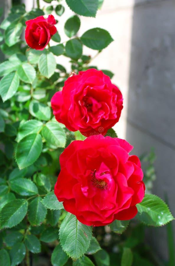 Rosas rojas en verde y gris como fondo fotografía de archivo