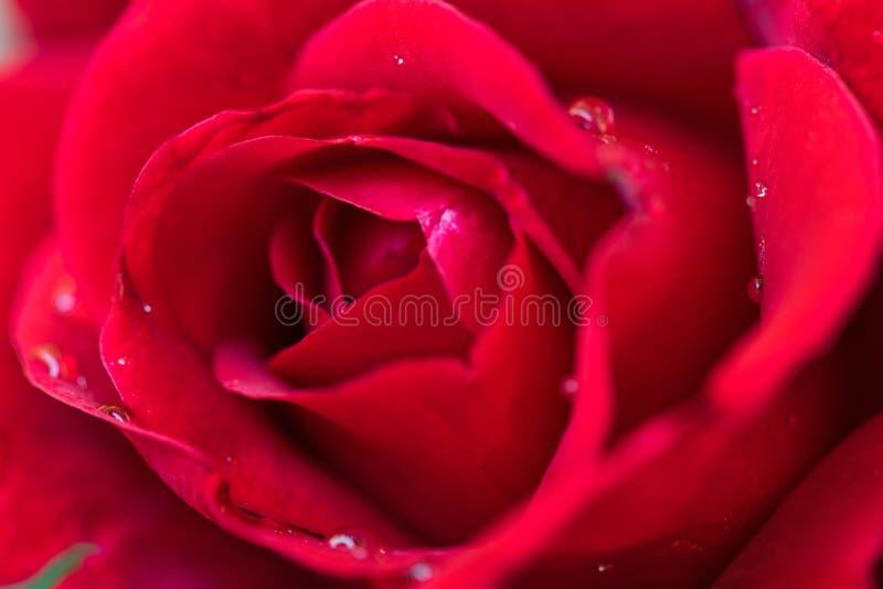 Rosas rojas hermosas imagenes de archivo