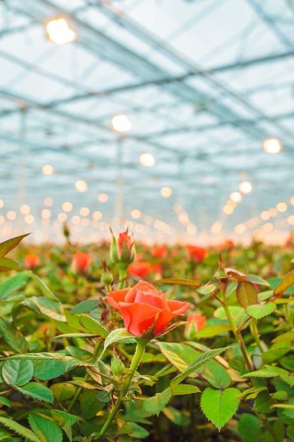 Rosas rojas que crecen dentro de un invernadero imagenes de archivo