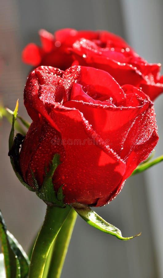 Rosas rojas que hacen frente a la luz del sol fotografía de archivo