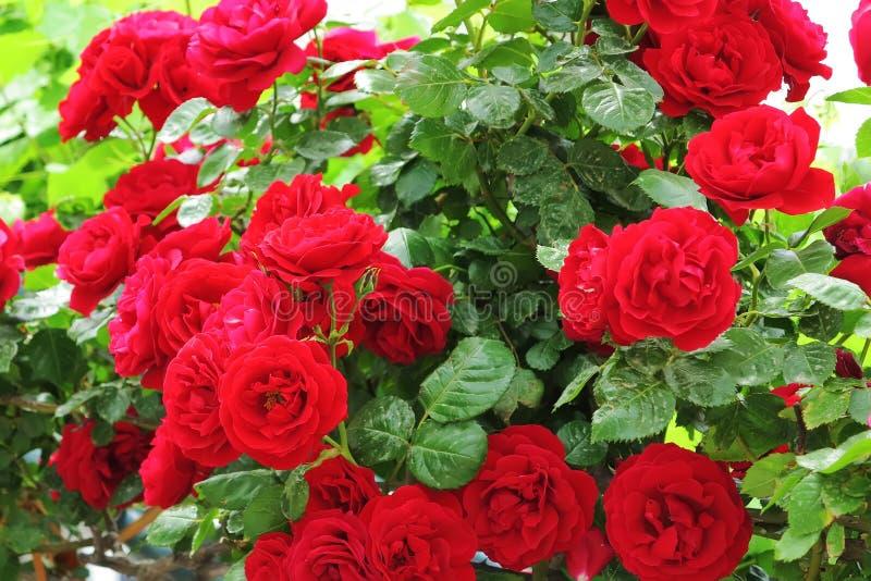 Rosas rojas salvajes fotografía de archivo libre de regalías