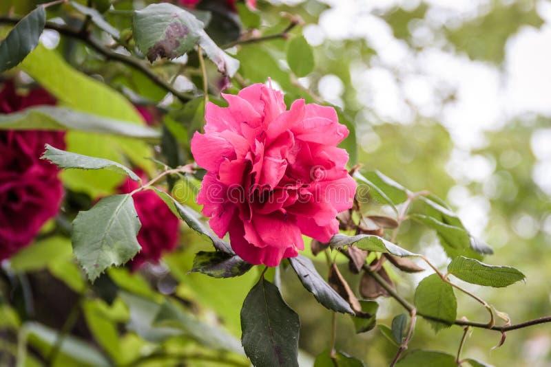 Rosas rojas salvajes con el fondo suave del foco imagen de archivo