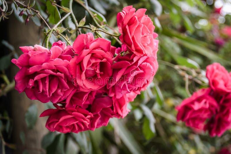 Rosas rojas salvajes con el fondo suave del foco fotografía de archivo libre de regalías