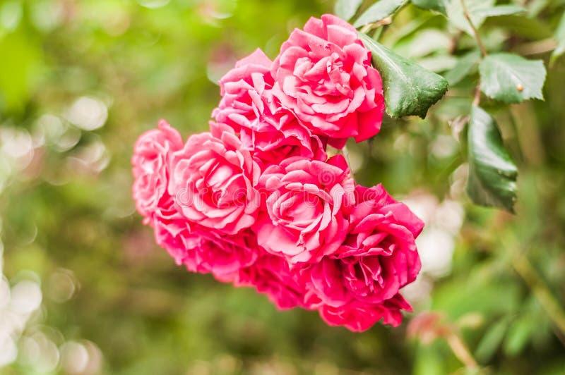 Rosas rojas salvajes con el fondo suave del foco imagenes de archivo