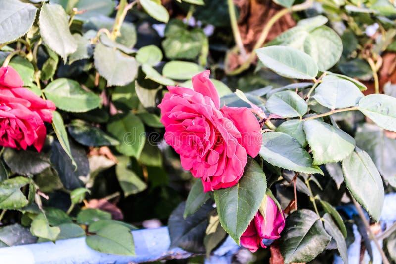 Rosas rojas salvajes con el fondo suave del foco foto de archivo libre de regalías