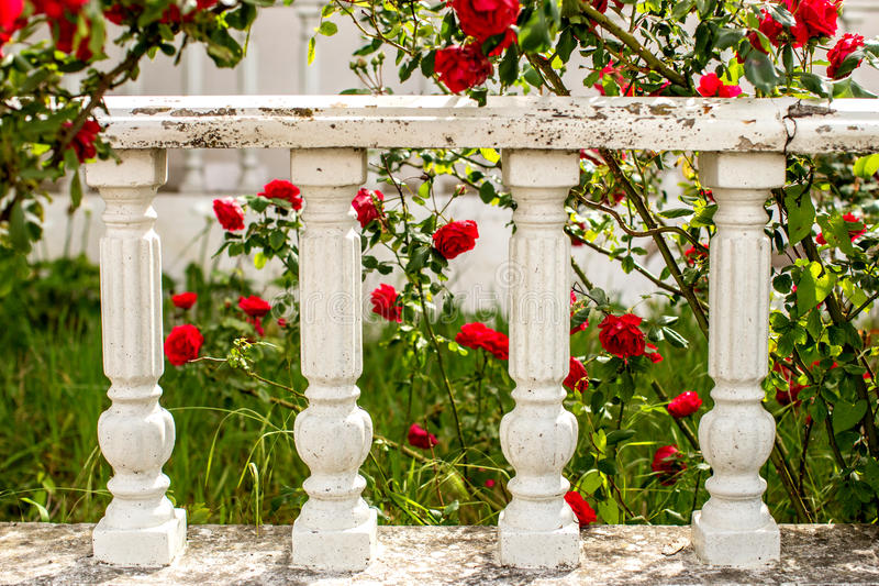Rosas rojas y cerca blanca foto de archivo libre de regalías