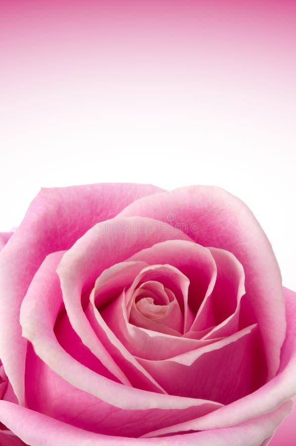 Rosas românticas fotografia de stock