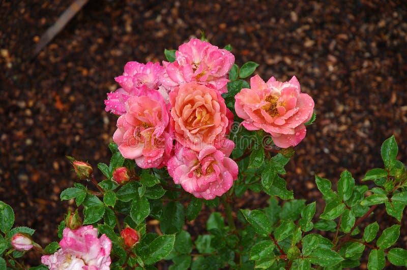 Download Rosas rosadas foto de archivo. Imagen de gotas, verano - 182354