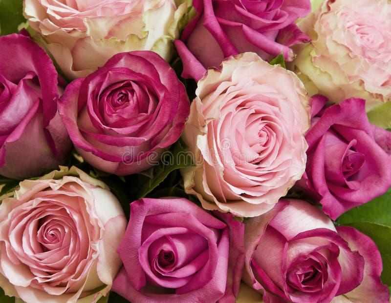 Rosas rosadas fotografía de archivo