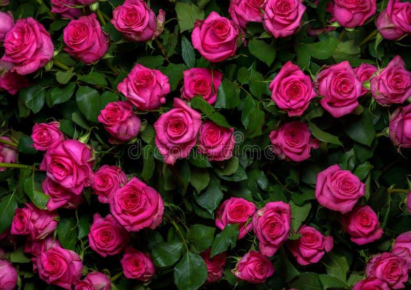 Download Rosas rosadas 2 imagen de archivo. Imagen de hoja, cerque - 44855885