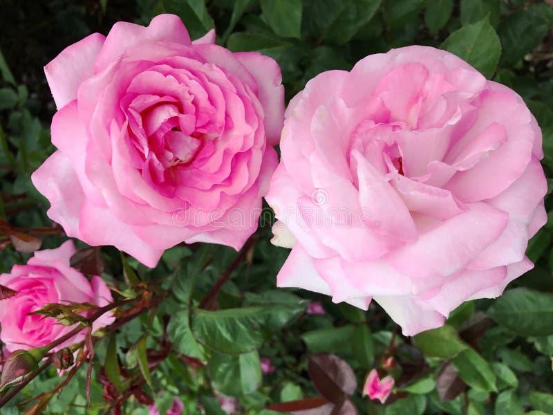 Rosas rosadas foto de archivo