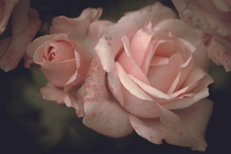 Rosas rosadas con el brote en un fondo oscuro, flores románticas imágenes de archivo libres de regalías