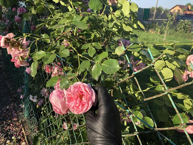 Rosas rosadas con una mano en guantes negros fotografía de archivo