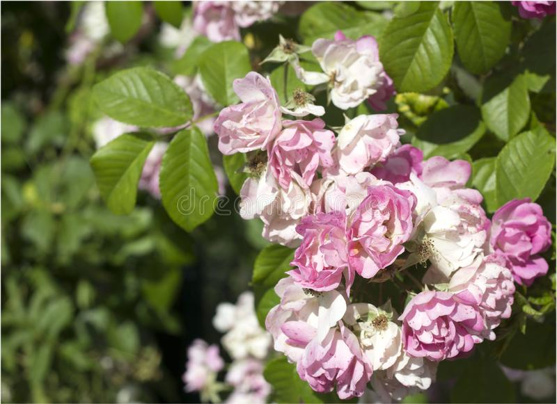 Rosas rosadas del verano hermoso imágenes de archivo libres de regalías