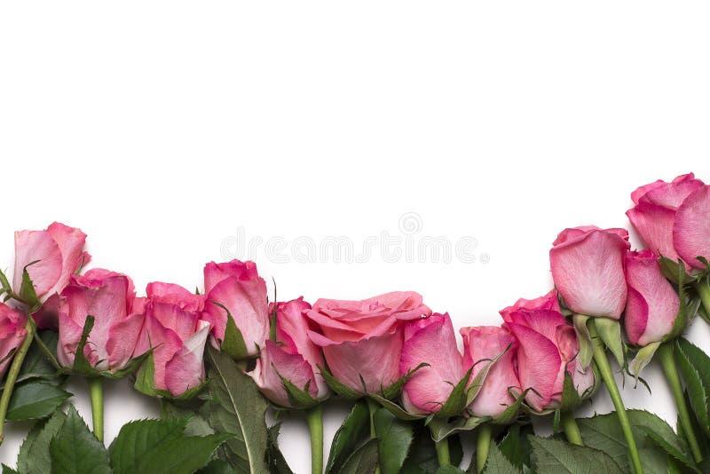 Rosas rosadas en el fondo blanco fotografía de archivo