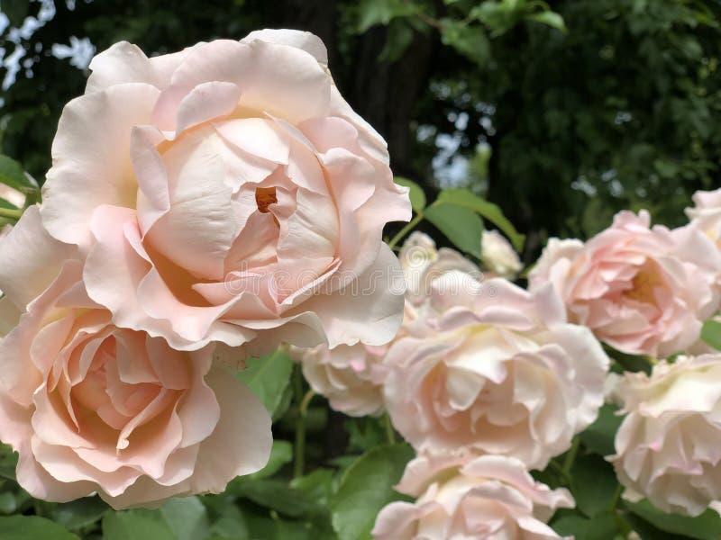 Rosas rosadas en el jardín de rosas coloridas imagen de archivo libre de regalías