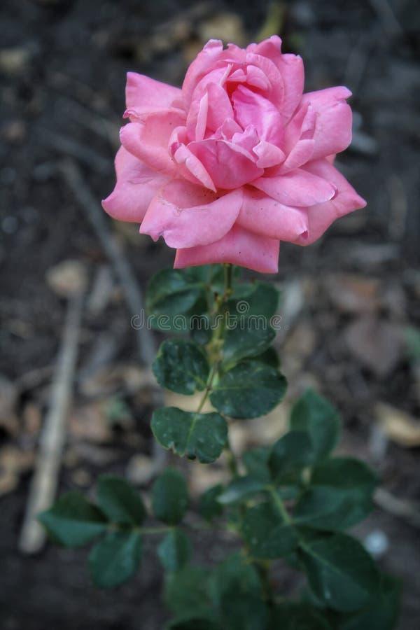 Rosas rosadas en el jard?n imagen de archivo