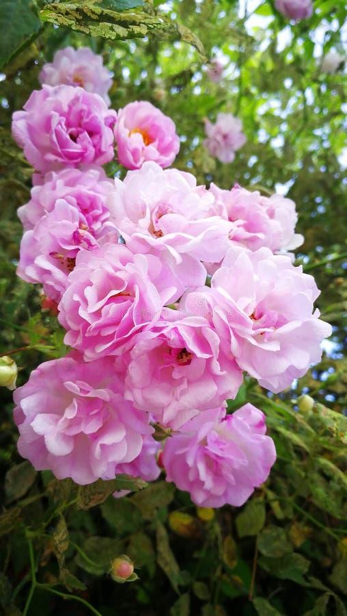 Rosas rosadas en la floración fotografía de archivo