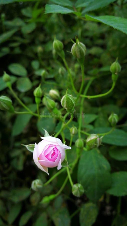 Rosas rosadas en la floración imagen de archivo