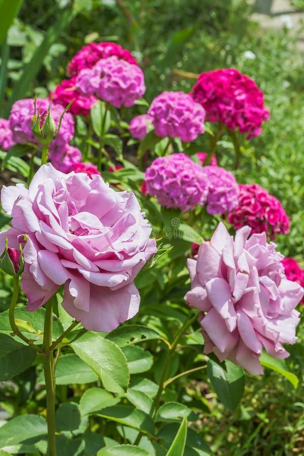 Rosas rosadas en un fondo de florecer a dulce-Guillermo, primer foto de archivo libre de regalías