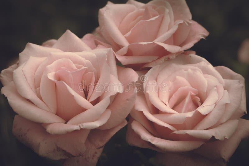 Rosas rosadas en un fondo oscuro, flores románticas fotos de archivo