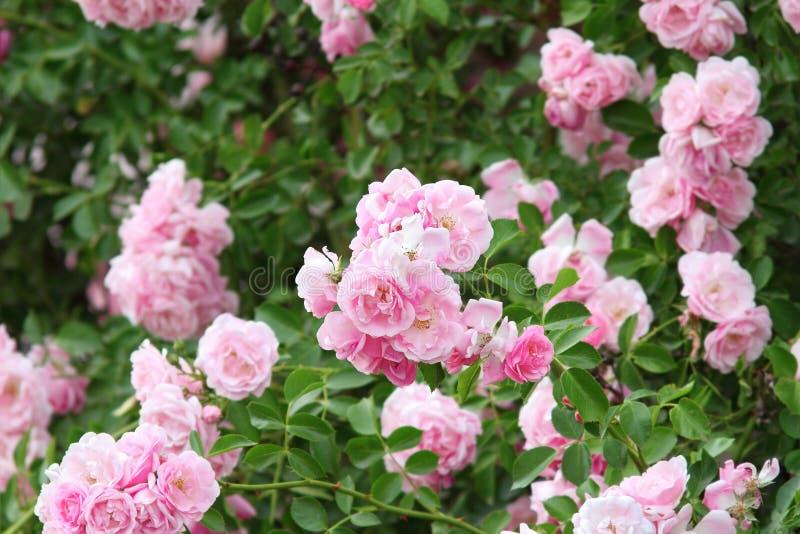 Rosas rosadas hermosas en el jardín imagenes de archivo