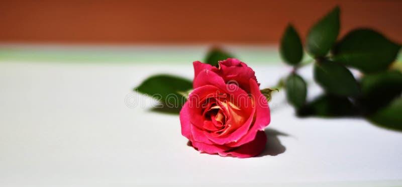 Rosas rosadas hermosas en un fondo borroso foto de archivo