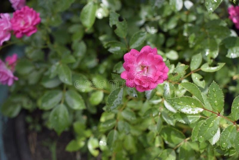Rosas rosadas mojadas con descensos del rocío Fondo al aire libre foto de archivo libre de regalías