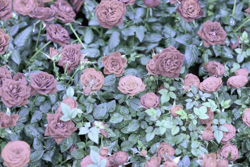 Rosas rosadas naturales Flores románticas Estampado de flores estacional hermoso para el fondo del vintage para diversos temas imagenes de archivo