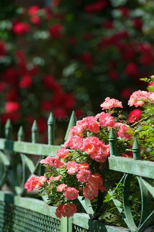 Rosas rosadas que suben en la cerca fotografía de archivo libre de regalías