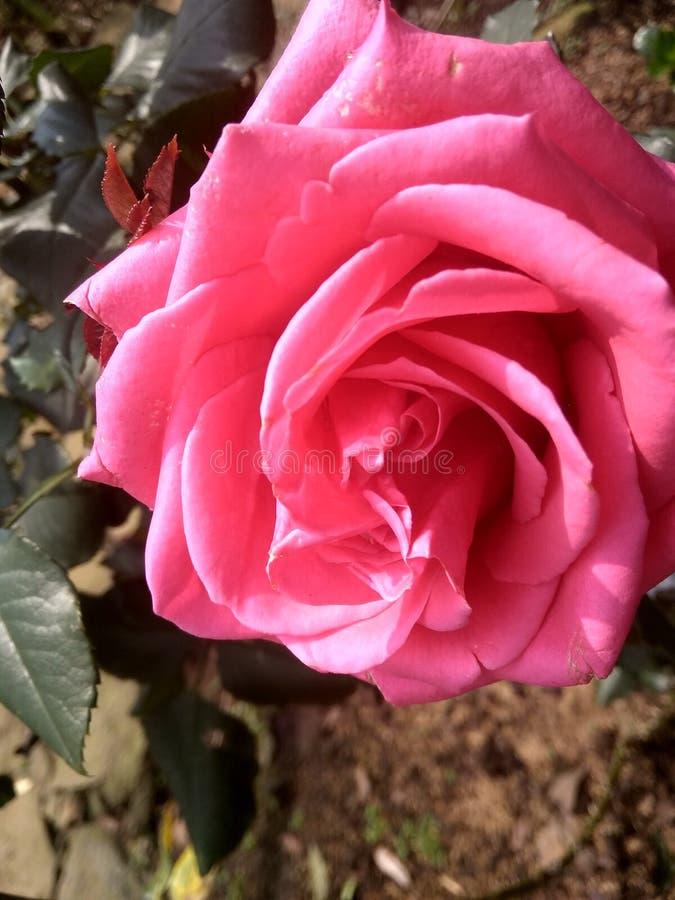 Rosas rosadas raras que crecen en las montañas imagen de archivo