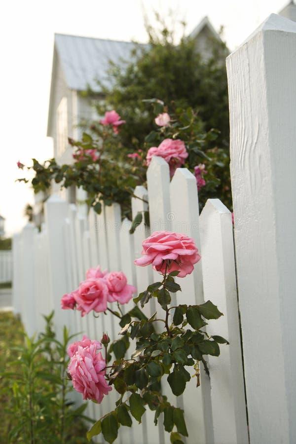 Rosas rosadas y cerca de piquete blanca. fotos de archivo
