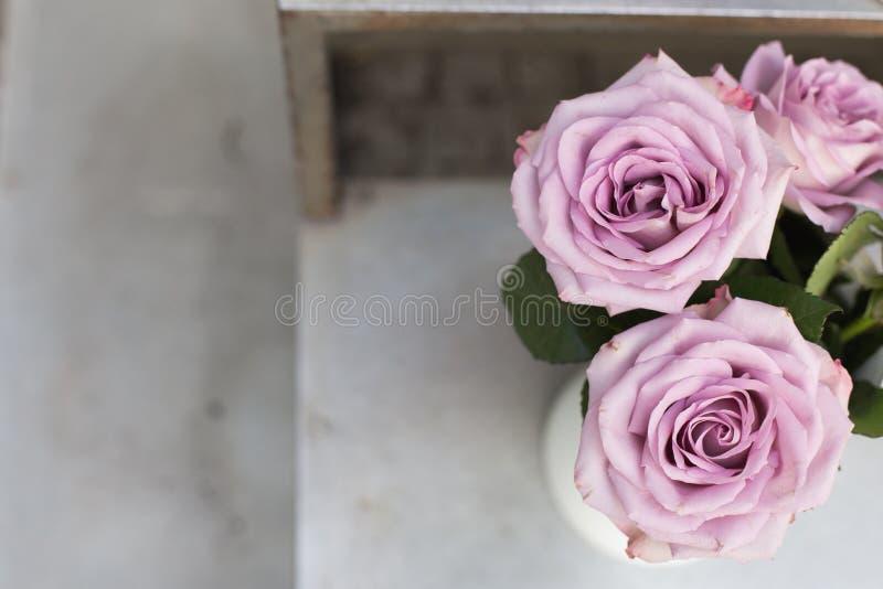Rosas roxas no fundo cinzento fotografia de stock