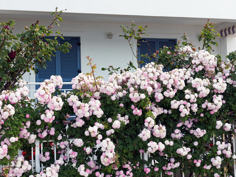 Rosas salvajes rosadas en Front Fence imagenes de archivo