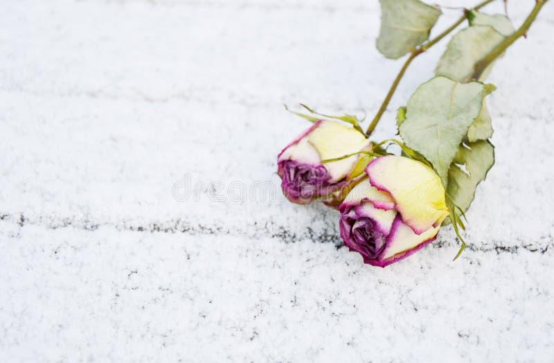 Rosas secadas imágenes de archivo libres de regalías