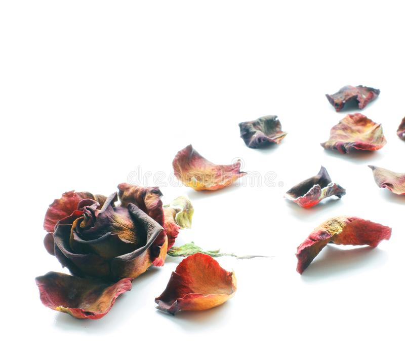 Rosas secadas em um fundo branco pétalas cor-de-rosa fotos de stock