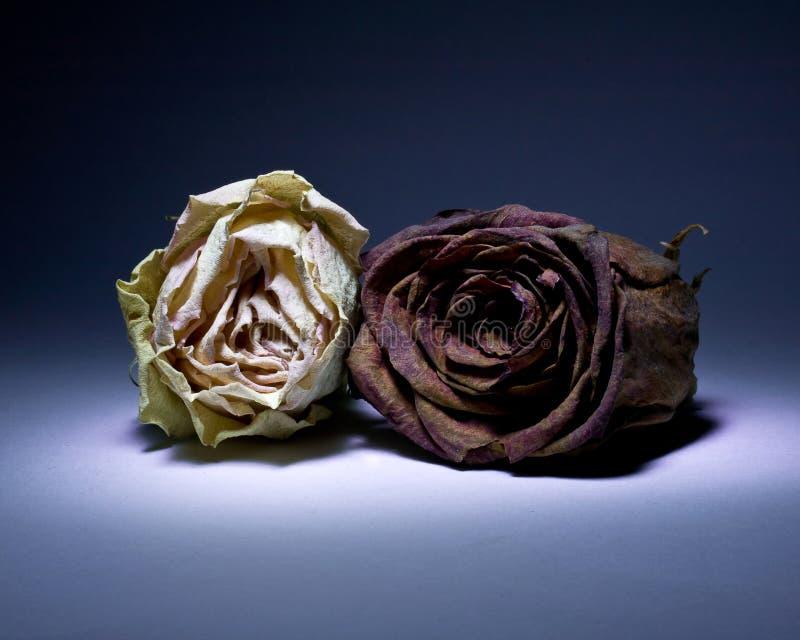 Rosas secadas en violeta fotografía de archivo